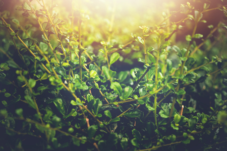 Natural background of green leaves. Background leaves green. Siamese rough bush Stock fotó