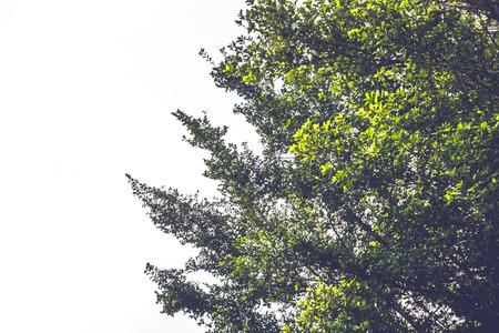 녹색 잎의 자연 배경입니다. 배경 녹색 나뭇잎. 흰색 배경. 샴 거친 부시