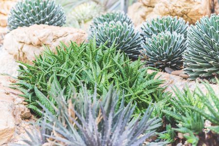 background nature. Natural background Cactus Garden Many species. Agave