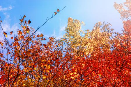 배경 자연입니다. 자연 단풍 나무 잎 배경, 오렌지, 노랑 - 오렌지 하늘 배경.