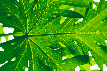 Natural background Banana leaf green. Bright, colorful leaves