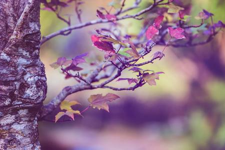 배경 자연입니다. 자연 배경 분재 메이플 나무입니다. 스톡 콘텐츠