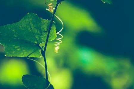 Natuurlijke achtergrond van groene bladeren. Achtergrond laat groen. zonlicht blad. Ivy Gourd