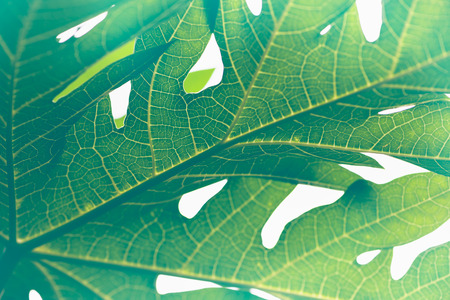 colourful lightings: Natural background Banana leaf green. Bright, colorful leaves