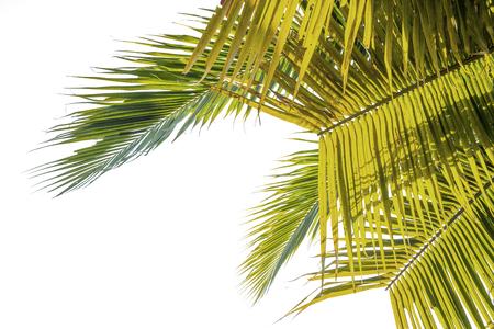 Natuurlijke achtergrond Kokosnoot laat groen. witte achtergrond
