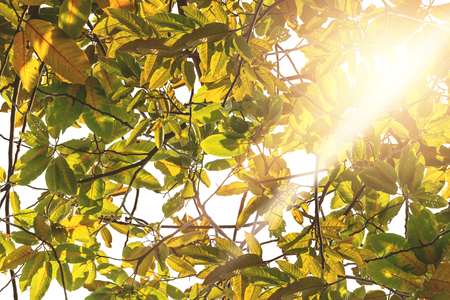 Background leaves Green Solar Green with golden yellow sun.