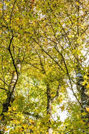 배경 자연입니다. 배경, 자연 단풍 나무, 오렌지, 노랑 - 오렌지