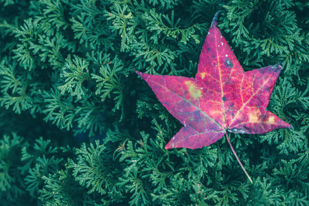 배경 자연입니다. 자연 배경 메이플입니다. 타락 한 단풍 나무 녹색 소나무 바늘에 나뭇잎.