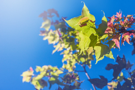background nature. Natural maple leaves background, sky background. Stock Photo