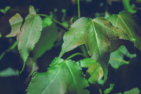 background nature. Natural background maple leaf green. Stock Photo