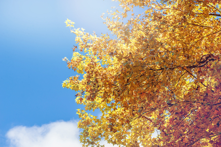 background nature. Natural maple leaves background, orange, yellow-orange sky background.