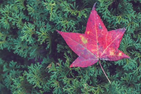 background nature. Natural background maple. Fallen maple leaves on green pine needles.