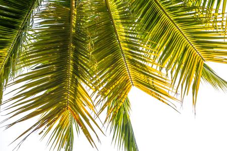Natuurlijke achtergrond Kokosnoot verlaat groen. witte achtergrond