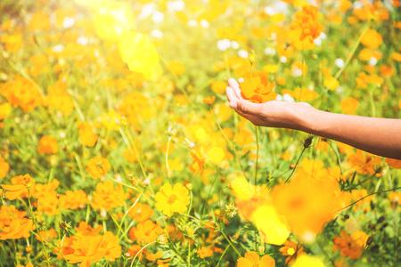 Asian women hand touch yellow flower. flowers Cosmos sulphureus. Thailand