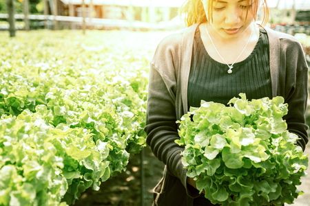 Woman hand catches salad. lettuce garden. Fresh from the garden.