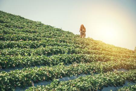 Background of strawberry plantation with female gardener Standard-Bild