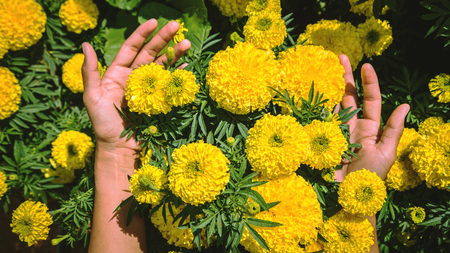 Asian women hand touch yellow flower. flowers Tagetes erecta. Thailand