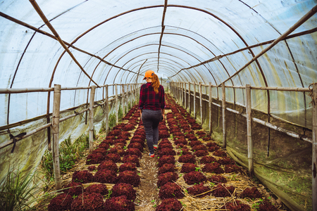 gardener woman asian. Caring for Vegetable salads Red Coral In the garden at the nursery. Stock Photo