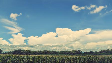 Rural landscape. Corn fields in the countryside are bright sky. Banco de Imagens