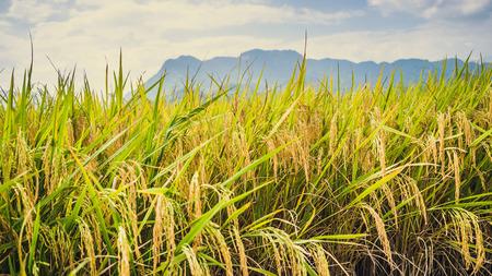 achtergrond landschap rijst geel goud. Tijdens het oogstseizoen. Aziatisch thailand