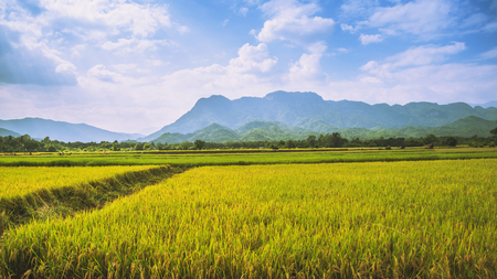 background landscape rice yellow gold. During the harvest season. Asian thailand
