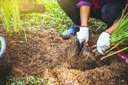 Asian women Planting lemongrass. plant vegetables