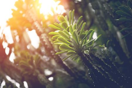 Natural background green leaves. sunlight leaf.Euphorbia neriifolia L.