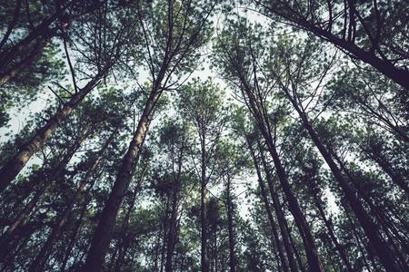 Natural background. Pinus kesiya Forest Park. Low angle shooting.  Thailand chiangmai doiinthanon