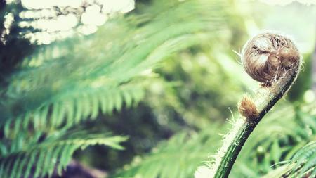 Natural background. Unravelling fern frond closeup.  Thailand chiangmai doiinthanon Reklamní fotografie