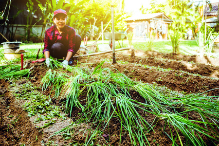 Woman asia plant vegetables gardening at The backyard. Women asia dig into soil the vegetable garden. Happy with the vegetable garden. plant vegetable Allium tuberosum