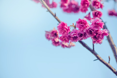 background nature Flower Valentine. background pink cherry blossom at beautiful on spring at Chiang Mai in Thailand. Prunus cerasoides