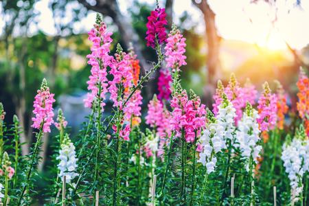 background nature Flower Antirrhinum.Snap dragon (Antirrhinum majus) blooming in garden