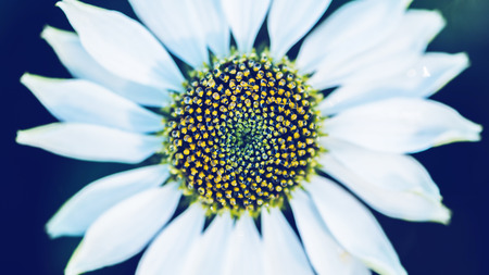 background nature Flower Osteospermum. White flowers. have dew on pollen yellow. Full frame 스톡 콘텐츠