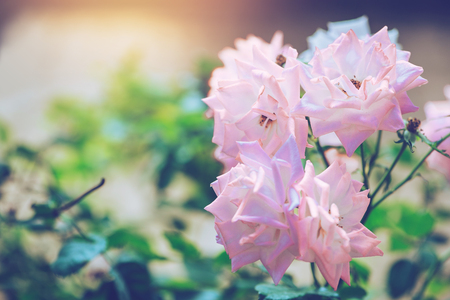 background nature Flower Valentine. pink rose full flower. Blurred Background Banque d'images