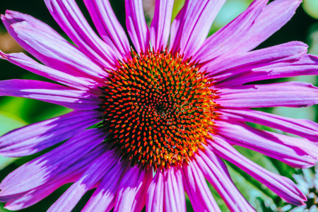 background nature Flower Osteospermum. purple flowers. have dew on pollen. Full frame. Background blur Фото со стока