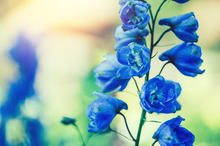 background nature Flower delphinium. blue flowers. background blur Stock Photo