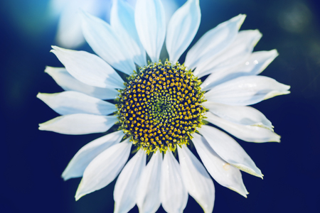 background nature Flower Osteospermum. White flowers. have dew on pollen yellow. Full frame Stok Fotoğraf