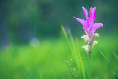 Wallpaper background garden park outdoor flower garden Curcuma sessilis.thailand Tropical forests