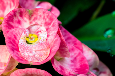 Wallpaper background Drops of water on pink flowers Euphorbia milii..thailand Tropical forests Stok Fotoğraf