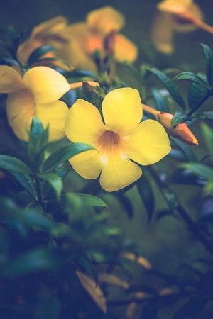background nature Flower. Allamanda cathartica yellow Archivio Fotografico - 121762294