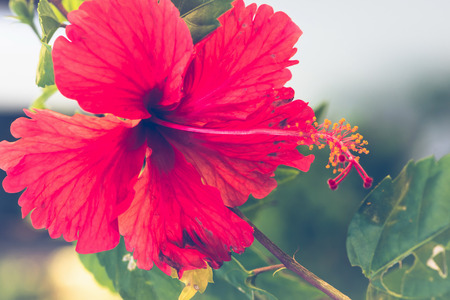 background nature Flower  Hibiscus rosa-sinensis L. full flower. Blurred Background 写真素材