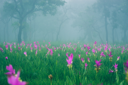 Wallpaper background garden park outdoor fog down flower garden Curcuma sessilis..thailand Tropical forests