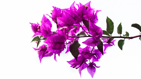 background nature Flower  Bougainvillea purple. full flower. White background Stockfoto