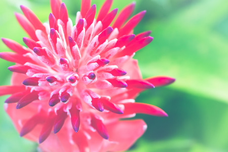 background nature Flower  Aechmea fasciata Pink