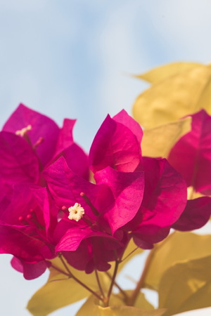 background nature Flower  Bougainvillea Pink. full flower