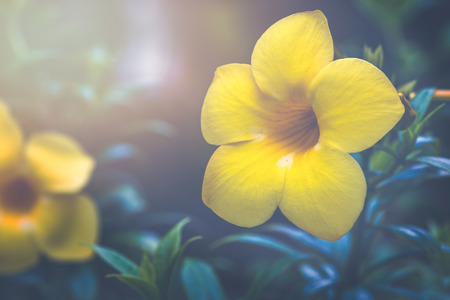 background nature Flower Allamanda cathartica yellow