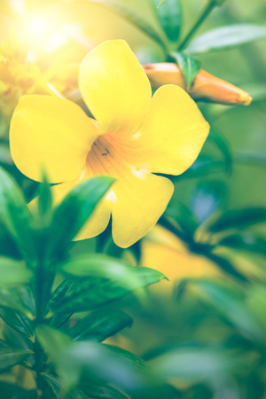 background nature Flower. Allamanda cathartica yellow Archivio Fotografico - 121762439