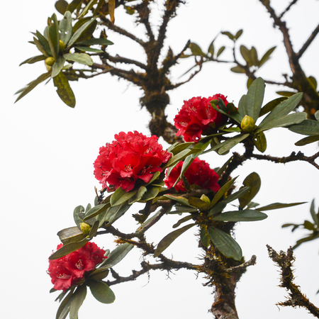 Wallpaper background flowers Rhododendron Red flowers.thailand Tropical forests