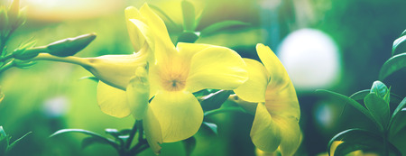 background nature Flower. Allamanda cathartica yellow Archivio Fotografico - 121762450