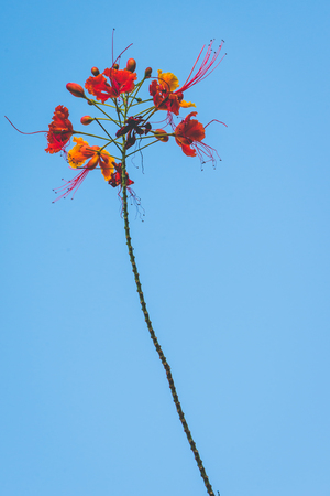 background nature Flower  Caesalpinia pulcherrima. Blue sky background